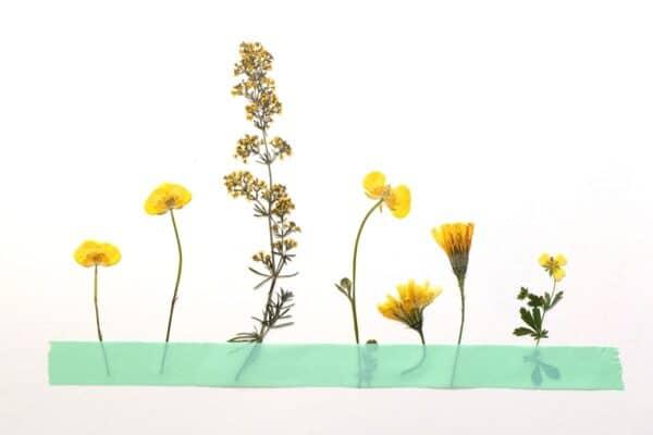 Blumenpresse Wiesenblume 1